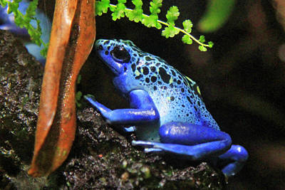 Photograph - Blue Dart Frog by Shoal Hollingsworth