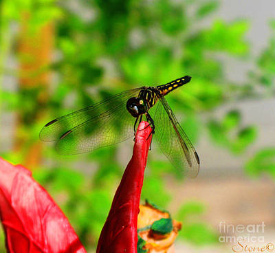 Photograph - Blue Dasher Damselfly by September  Stone