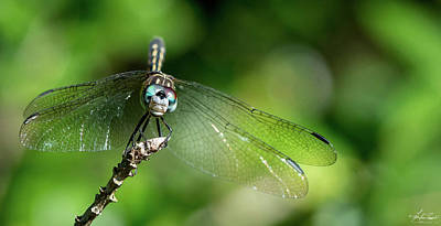 Photograph - Blue Dasher Dragonfly 02 by Phil and Karen Rispin