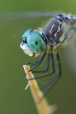 Photograph - Blue Dasher Dragonfly #2 by Paul Rebmann