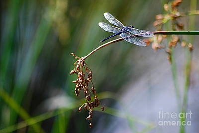 Photograph - Blue Dasher Dragonfly 20130826a_81 by Tina Hopkins