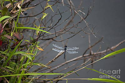 Photograph - Blue Dasher Dragonfly 20130829_82 by Tina Hopkins