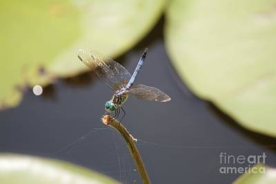 Photograph - Blue Dasher Dragonfly by David Grant