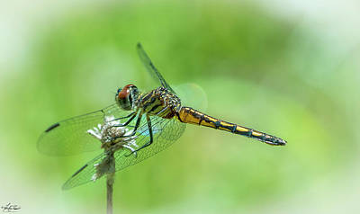 Photograph - Blue Dasher Dragonfly by Philip Rispin