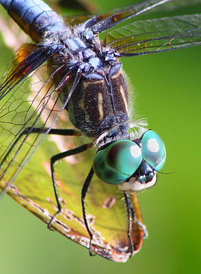 Photograph - Blue Dasher Dragonfly Up Close by John Burk