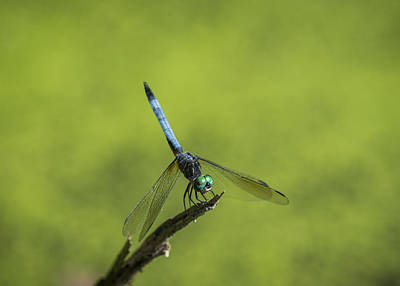 Photograph - Blue Dasher by Robert Potts