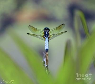 Photograph - Blue Dhasher Dragonfly 2 by September Stone