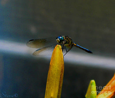 Photograph - Blue Dhasher Dragonfly by September  Stone