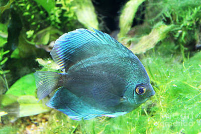 Photograph - Blue Discus by Steven Parker