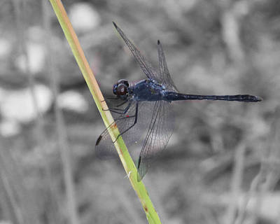 Photograph - Blue Dragon Fly by Joseph G Holland