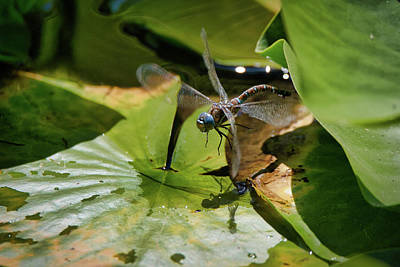 Photograph - Blue Dragon Fly by Keith Boone