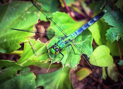 Photograph - Blue Dragonfly 2 by Lilia D