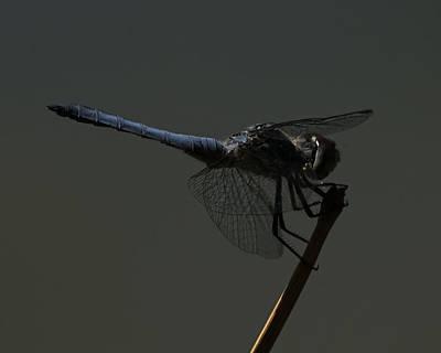Photograph - Blue Dragonfly 4 by Ernie Echols