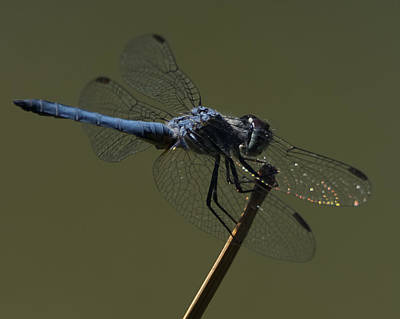 Photograph - Blue Dragonfly 5 by Ernie Echols