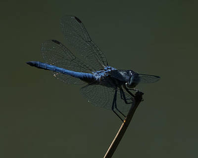 Photograph - Blue Dragonfly 6 by Ernie Echols