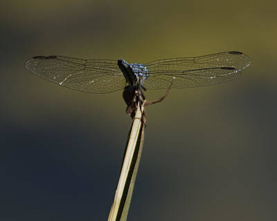 Photograph - Blue Dragonfly 7 by Ernie Echols