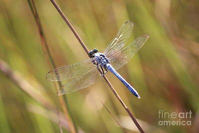 Dragonfly Photograph - Blue Dragonfly Against Green Grass by Carol Groenen