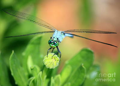 Dragonfly Photograph - Blue Dragonfly And Bud by Carol Groenen