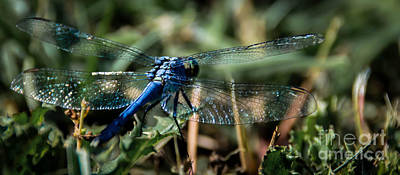 Photograph - Blue Dragonfly by Andrea Anderegg