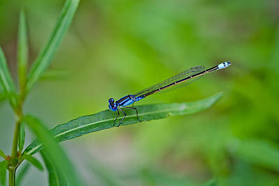 Macro Dragonfly Photograph - Blue Dragonfly by Az Jackson