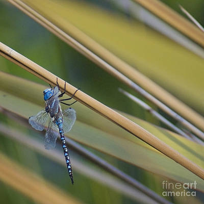 Photograph - Blue Dragonfly by Cindy Garber Iverson