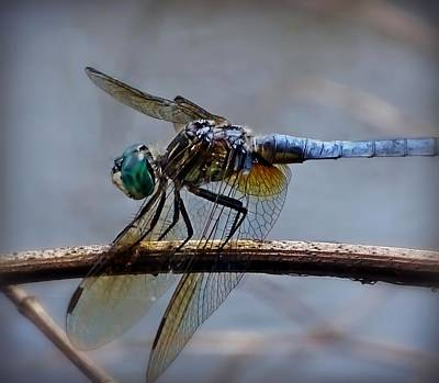 Nature Photograph - Blue Dragonfly Close Up by Lilia D