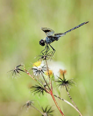 Photograph - Blue Dragonfly by Dawn Currie