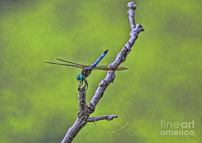 Photograph - Blue Dragonfly by Elizabeth Winter