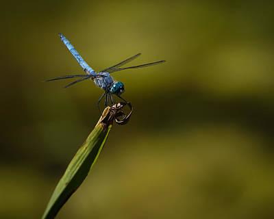 Photograph - Blue Dragonfly by Ernie Echols