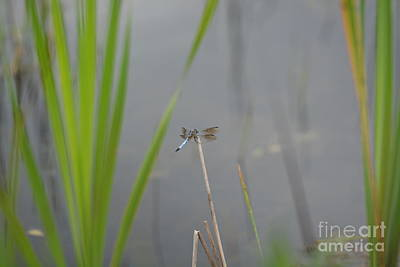 Photograph - Blue Dragonfly In The Midst by Maria Urso