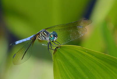 Photograph - Blue Dragonfly by Judith Morris