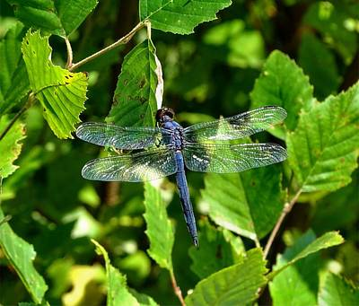 Photograph - Blue Dragonfly by Lilia D
