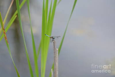 Photograph - Blue Dragonfly by Maria Urso