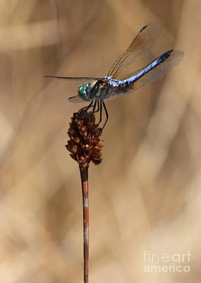 Blue Dasher Photograph - Blue Dragonfly On Brown Reed by Carol Groenen