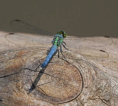 Photograph - Blue Dragonfly On Log by Ronda Ryan