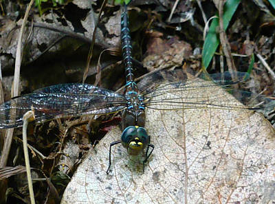 Photograph - Blue Dragonfly  by 'REA' Gallery