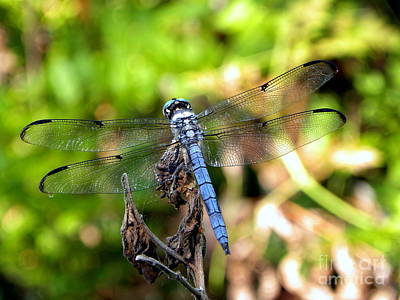 Photograph - Blue Dragonfly by Terri Mills