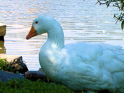Art Print featuring the photograph Blue Duck by Diane Ferguson
