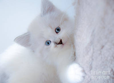 Photograph - Blue Eye Kitten Snow White by Peggy Franz