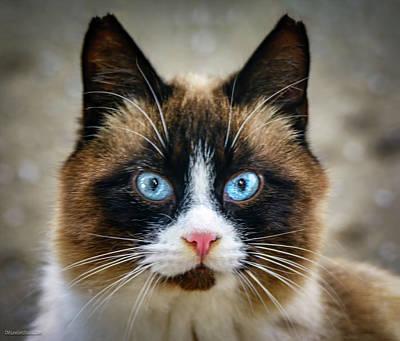 Photograph - Blue Eyed Cat by LeeAnn McLaneGoetz McLaneGoetzStudioLLCcom