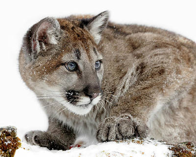 Photograph - Blue Eyed Cougar Cub by Wes and Dotty Weber