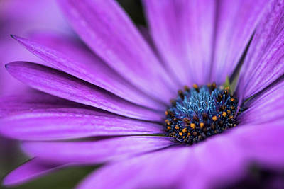 Photograph - Blue Eyed Daisy by Linda Shannon Morgan