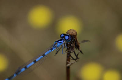 Photograph - Blue-eyed Damselfly by Adria Trail
