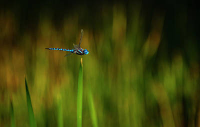 Photograph - Blue-eyed Darner In Flight 2 by Rick Mosher