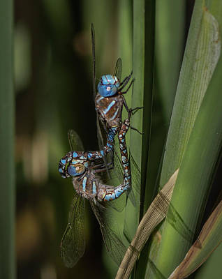 Photograph - Blue-eyed Darners by Rick Mosher