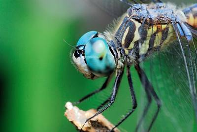 Arthropoda Photograph - Blue-eyed Dragonfly With Brown And Yellow Diagonal Stripes by Katrina Lau