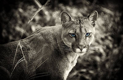 Photograph - Blue Eyed Feline by Cameron Wood