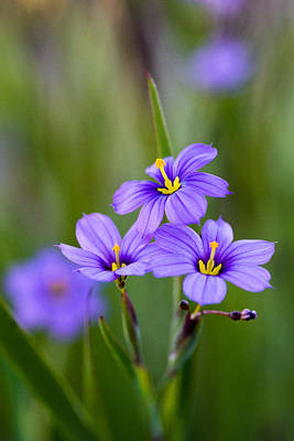 Photograph - Blue-eyed Grass by Alexander Kunz