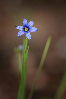 Photograph - Blue-eyed Grass by Linda Shannon Morgan