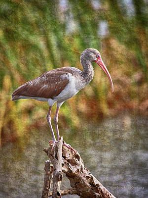 Photograph - Blue Eyed Ibis by Charles McKelroy